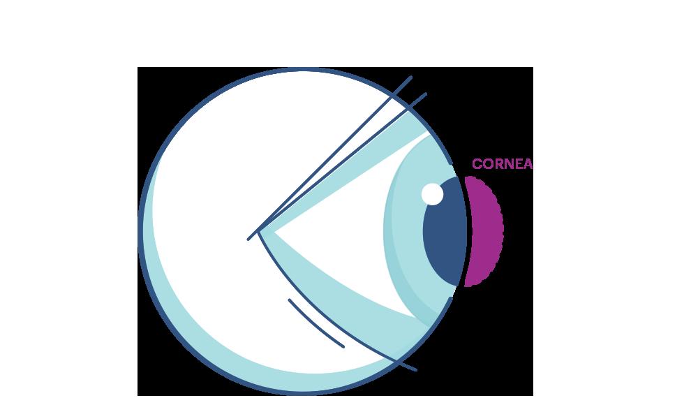 Illustration showing the eye's  Cornea.